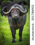 Small photo of African buffalo standing on green grass