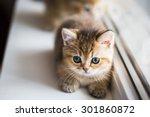 british gold chinchilla kitten | Shutterstock . vector #301860872