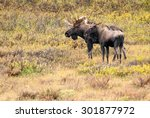 Small photo of Bull Western Moose (Alces alces andersoni) and juvenile. Alberta, Canada, North America.