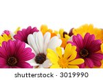 Spring daisy border - stock photo