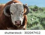 A Hereford Bull Gives A Grumpy...