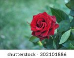 Stock photo lovely single blooming red rose 302101886