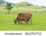 the mother cow feed her young... | Shutterstock . vector #302292722