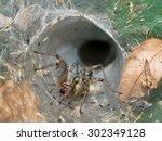 European Funnel Web Spider...