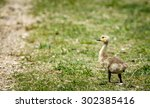 A Baby Goose Walking Down A...