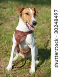 fox terrier  smooth . funny dog ... | Shutterstock . vector #30248497