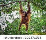 Orangutan On The Tree.