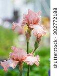 Close Up Of Pink Bearded Iris...