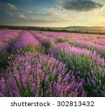 meadow of lavender. nature... | Shutterstock . vector #302813432
