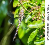 Small photo of A macro shot of a migrant hawker dragonfly.