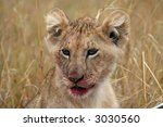 lion cub with bloody mouth | Shutterstock . vector #3030560