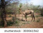 old camel grazing | Shutterstock . vector #303061562
