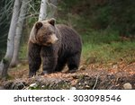 Big Brown Bear  Ursus Arctos ...