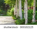 Alley Of Birch Trees And Other...