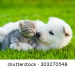 Stock photo white swiss shepherd s puppy playing with tiny kitten on green grass 303270548