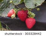 strawberries | Shutterstock . vector #303328442
