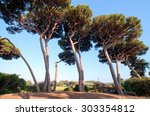 maritime pine tree group near... | Shutterstock . vector #303354812