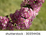 cherry in blossoming | Shutterstock . vector #30354436