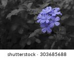close up to  plumbago flower in ... | Shutterstock . vector #303685688