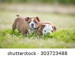 cute funny english bulldog... | Shutterstock . vector #303723488