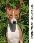 basenji dog outside | Shutterstock . vector #303845336