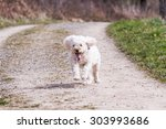 White Poodle Running
