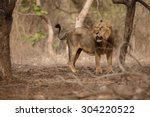 asiatic lion male in the nature ... | Shutterstock . vector #304220522