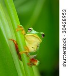 Adorable Tree Frog