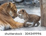 Stock photo small liger cub playing with his mother 304349996