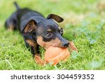 Stock photo miniature pinscher puppy playing with a ball in the grass 304459352