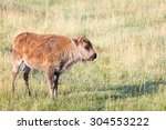 A Bison Calf In Lamar Vally ...