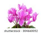 Pink Cyclamen Flowers With...