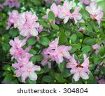 a rhododendron bush in bloom.   Shutterstock . vector #304804