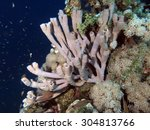 Small photo of Colonial tube sponge (Porifera) on coral reef