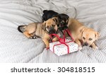 Stock photo three adorable terrier mix puppies playing with small wrapped present 304818515
