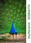 portrait of beautiful peacock... | Shutterstock . vector #304866752