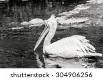 One Big White Pelican Floats O...