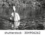 One White Pelican With A Long...