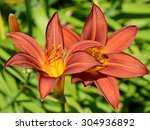 lilies are a group of flowering ... | Shutterstock . vector #304936892