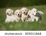Stock photo litter of five cute purebred golden retriever puppies outdoors in the nature on grass meadow on a 305011868