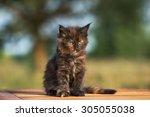 Stock photo maine coon kitten portrait outdoors 305055038