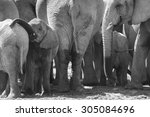 Elephant Herd Standing Close...