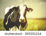 Stock photo dairy cow at countryside beautiful sky in the background vintage style 305201216