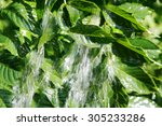 splashing wateron green leaves. | Shutterstock . vector #305233286