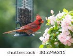 Male Northern Cardinal By A...