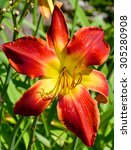 lilies are a group of flowering ... | Shutterstock . vector #305280908