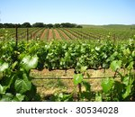 Attractive vineyard in California's Napa Valley in the spring with new growth - stock photo