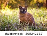 Brown Burmese Cat In The Garden