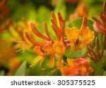 Orange Flowers Of Honeysuckle