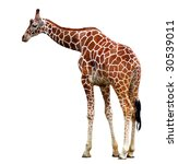 giraffe isolated | Shutterstock . vector #30539011